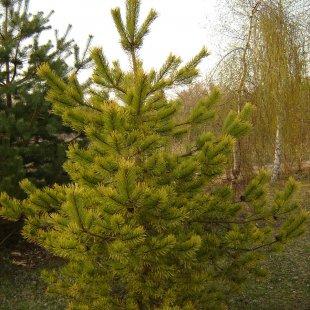Pinus sylvestris 'Aurea'
