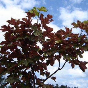Acer pseodoplatanus 'Esk Sunset'