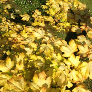 Acer orientalis 'Minorient'