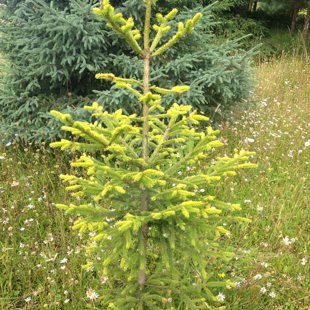 Picea abies 'Lubecensis'
