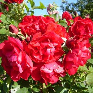 Rosa rugosa 'Hansaland'