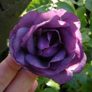Rosa 'Rapsody in Blue'