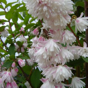 Deutzia 'Pride of Rochester'